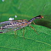 Anthropogenic dispersal of a snakefly ...