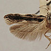 Review of the genus Tricerophora Janse, ...