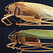 The tropical African genus Morgenia (Orthoptera, ...