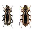About Notiophilus Duméril, 1806 (Coleoptera,  ...