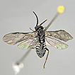 On Bulgarian sawflies, including a new ...