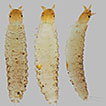 First known larva of omicrine genus Psalitrus ...