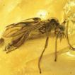 A new fossil species of the genus Bibio, ...