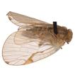 Kazukuru gen. nov. – a new Ricaniidae p ...