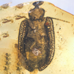 Limnomma, a new genus of Ommatidae from ...