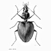 <i>Cyphocoleus</i> Chaudoir (Coleoptera, Carabidae, Odacanthini): descriptive taxonomy, phylogenetic relationships, and the Cenozoic history of New Caledonia