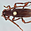 Descriptions of three new species and new records of Cerambycidae (Coleoptera) from America