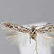 Review of the genus <i>Aphanostola</i> Meyrick, 1931 (Lepidoptera, Gelechiidae, Anomologinae) with description of 19 new species from the Afrotropical Region