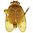 <i>Iuiuia caeca</i> gen. n., sp. n., a new troglobitic planthopper in the family Kinnaridae (Hemiptera, Fulgoromorpha) from Brazil