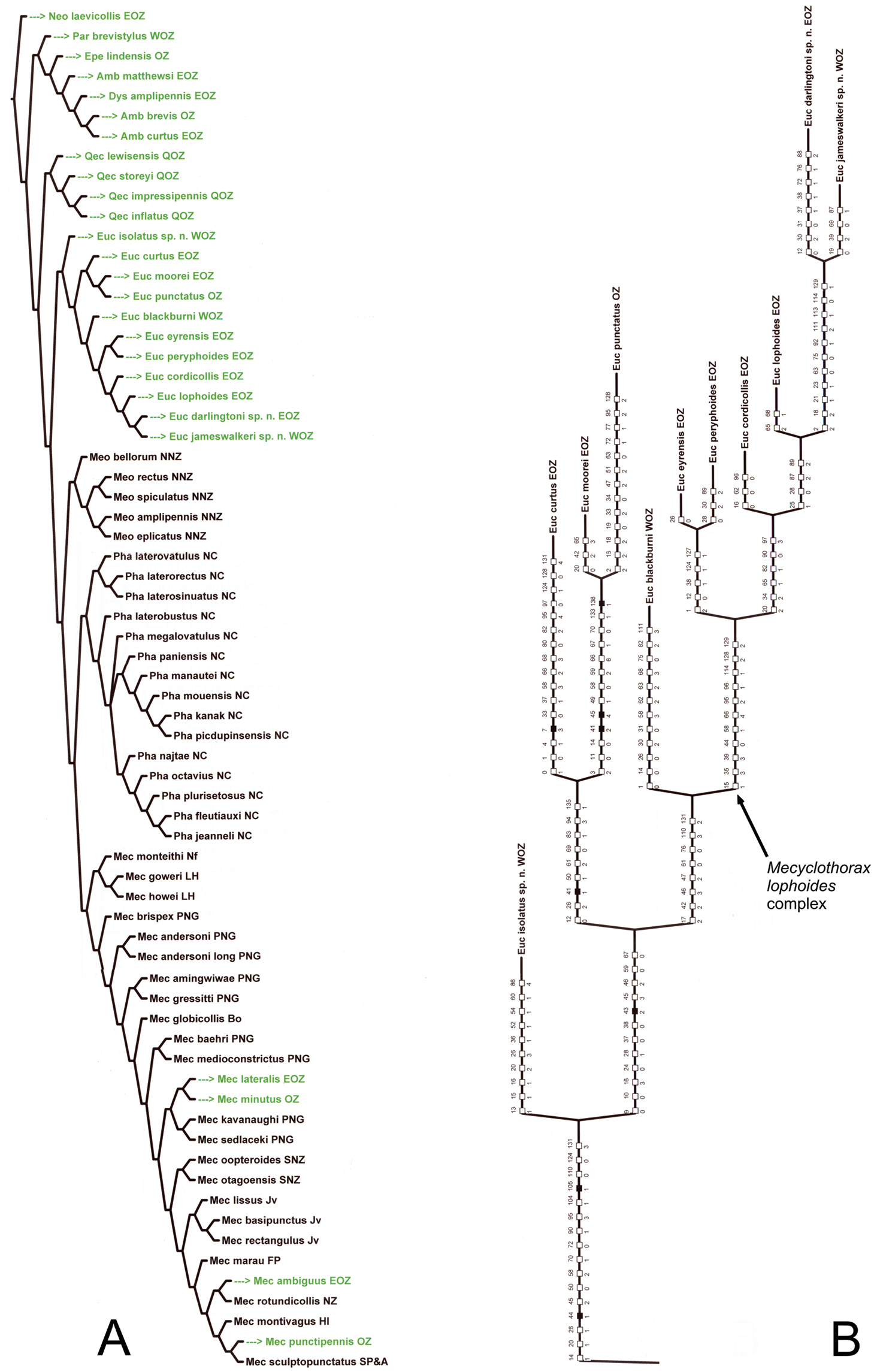 Taxonomic Review Of Australian Mecyclothorax Sharp Coleoptera